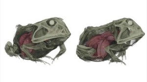 標本のカエルをCTスキャンで見てみると、カエルの中にもう一匹カエルが・・・