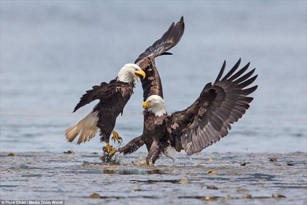 1匹の魚をめぐって、ハクトウワシが繰り広げた空中戦!!