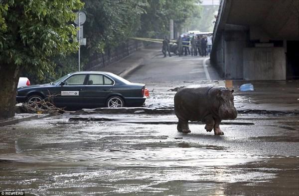 グルジアで洪水! 動物園からライオン、クマ、カバなど凶暴な動物が脱走!!
