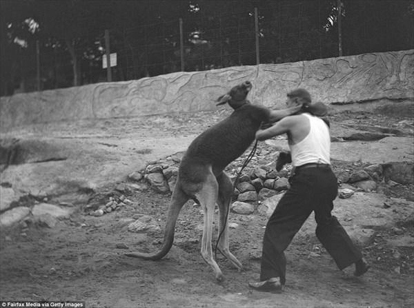当時大流行したカンガルーと人間の異種ボクシング試合! 歴史的写真と映像!!