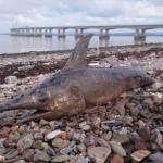 魚を追いかけて川まで来た!? イギリスの川で、カジキマグロが発見される!