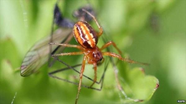 100年前に絶滅したとされていたクモ イギリスの自然保護区内で再発見!!