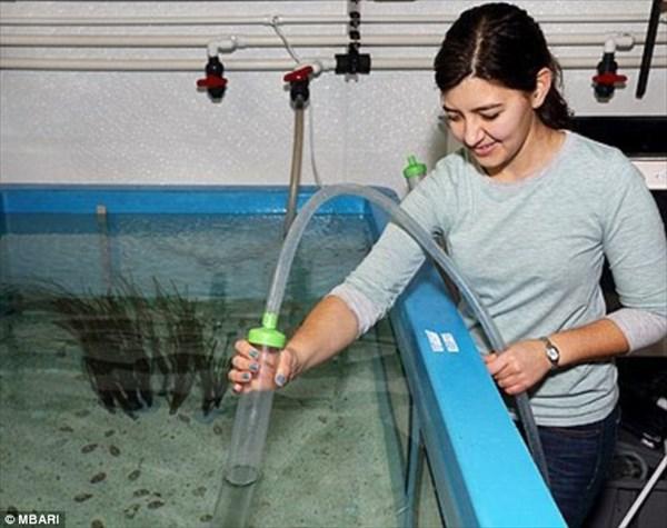 水深450メートルの深海から、新種のタコ(メンダコの一種)が捕獲される!