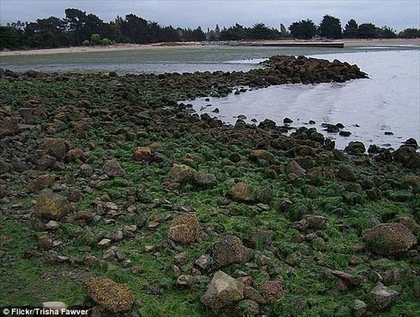 カリフォルニア州でアメフラシが大量発生! 人間の臓器と勘違いされ警察が出動