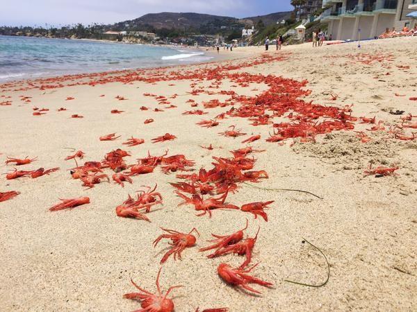 アメリカ・カリフォルニア州の海岸に深海エビ(コシオリエビの一種)が大量出現!!