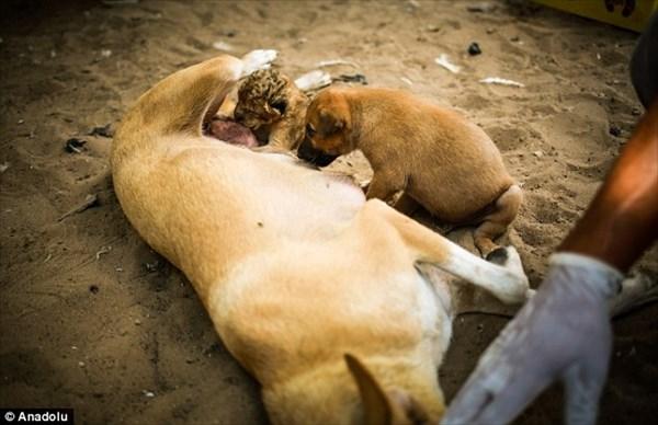 母ライオンに育児放棄された赤ちゃん 代理母の犬のお母さんが育児を引き継ぐ