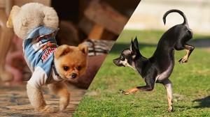「逆立ち5m走」雑種犬のKonjoが、ポメラニアンJiffの最速記録を更新