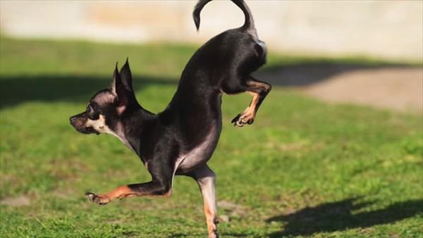 「逆立ち5m走」雑種犬のKonjoが、ポメラニアンJiffの最速記録更新!