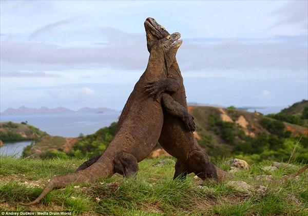 恐竜同士の戦いにしか見えない! 2匹のコモドオオトカゲの戦い!!