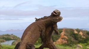 恐竜同士の戦いにしか見えない! コモドオオトカゲ(コモドドラゴン)の戦い!