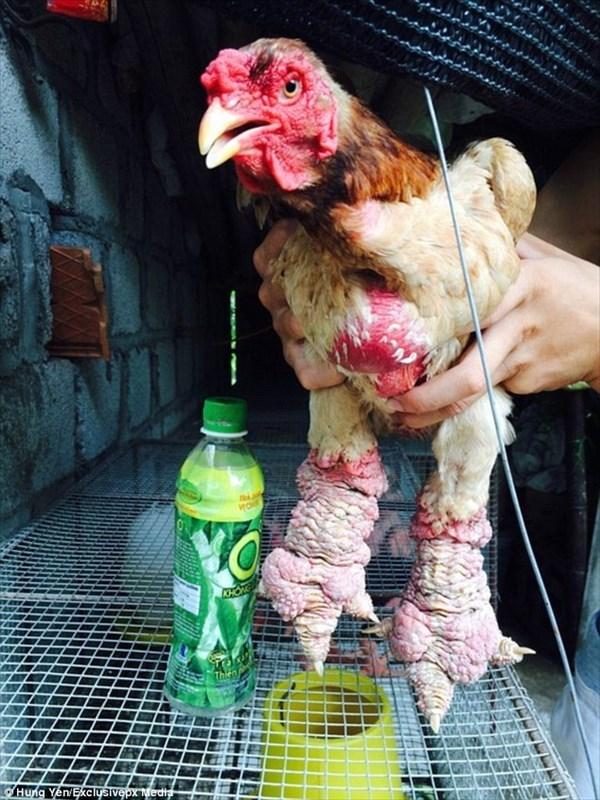 ペアで30万円!ベトナムの巨大な足を持つ希少品種のニワトリ「ドン・タオ鶏」