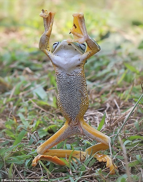 ベストキッド!? カンフーを披露するカエルが撮影される!!
