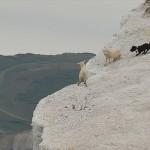 イギリスの公園で、凶暴な犬が、羊を崖から突き落とす事件が発生!!