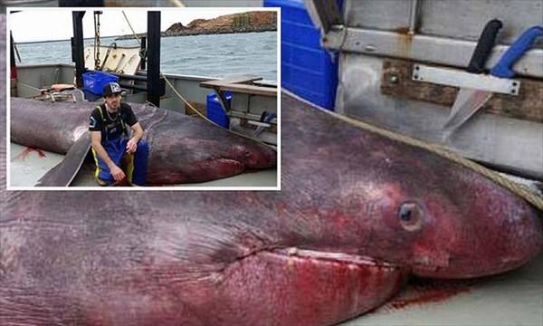 オーストラリアでトロール漁船が、偶然6.3メートルのウバザメを捕獲!