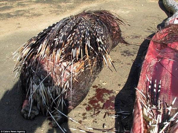 4mの巨大なニシキヘビ、ヤマアラシを丸飲みにするもトゲが胃に刺さって死亡