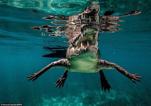 シュノーケリングをしながら、命がけで撮影したイリエワニの美しい写真!!