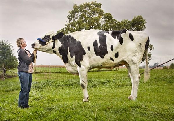 世界一背の高い(体高)ウシ、ギネス世界記録に認定されるも先月亡くなる