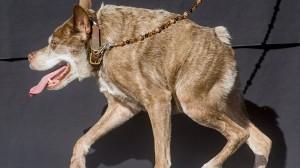 2015年「世界一醜い犬コンテスト」が今年も開催! 優勝は雑種犬のカジモド