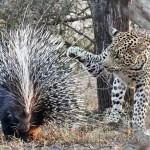 ヒョウVSヤマアラシ 食べたいけどトゲが邪魔で手をこまねくヒョウ