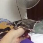 扇風機の風を感じて飛んだ気になる、可愛いフクロモモンガの動画!