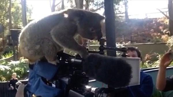 えッ!? カメラ使えんの? テレビカメラに興味津々な好奇心旺盛コアラの動画