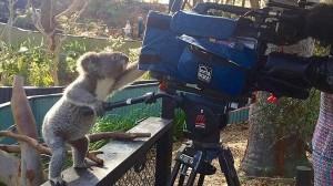 えッ!? カメラ使えんの? テレビカメラに興味津々な好奇心旺盛コアラ