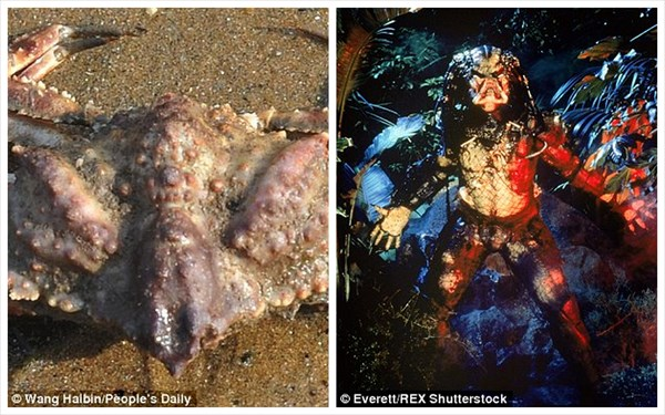 中国の浜辺で、巨大なハサミを持つ謎のカニ発見! 地元では鉄蟹と命名された