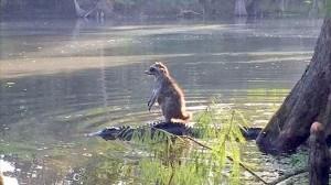 アメリカ・フロリダ州の森で、ワニを移動手段にするアライグマが目撃される!!