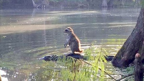 アメリカ・フロリダ州で、ワニを移動手段にするアライグマが目撃される!!