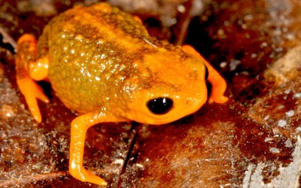 ブラジルの熱帯雨林でわずか1cmの新種カエル(コガネガエル科)7種発見!!