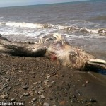 毛皮をもったイルカ!? 謎の生物の死骸がロシアの海岸に打ち上げられる!