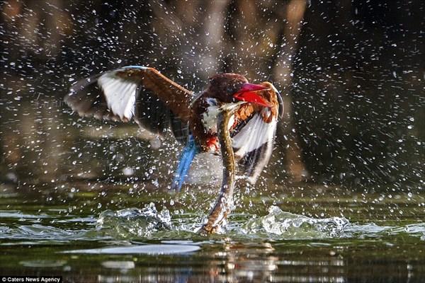 カワセミVSヘビ インドの水辺で繰り広げられた大迫力の戦い!!