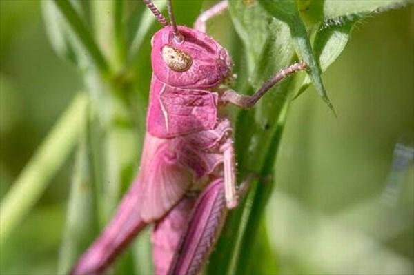レア個体!! 先月イギリスで、ピンク色のバッタが発見される!