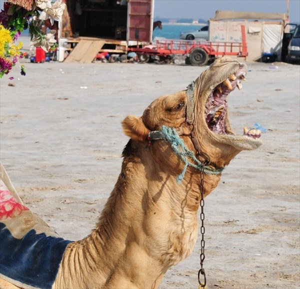 ラクダの口の中が、結構エグい!! そして時々、口から内臓を出す!?