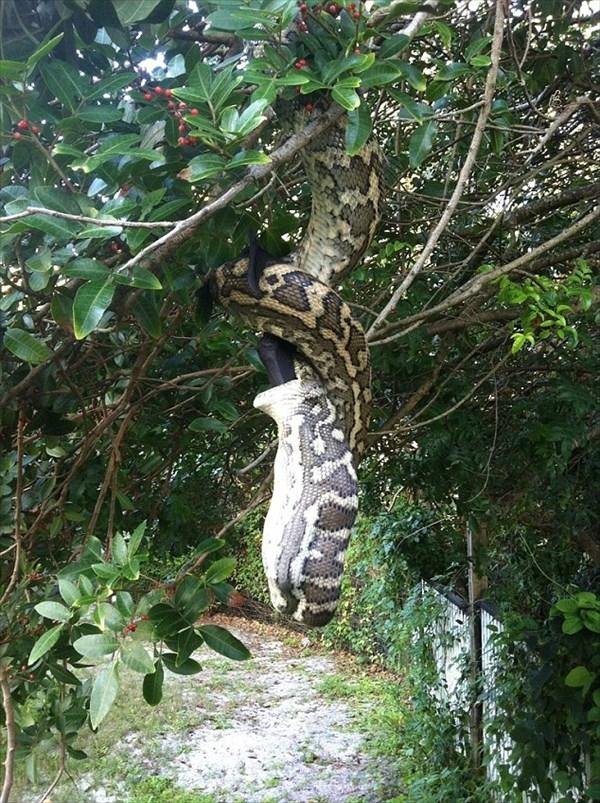 自宅裏庭で、木にぶら下がる大蛇が大きなコウモリを捕食!住民が撮影!!