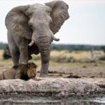 うっかりライオン 水を飲みに来たゾウに気づかず、危うく踏まれかける