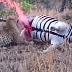 死後時間が経過したパンッパンのシマウマに噛み付くヒョウ 溢れる体液にビビる