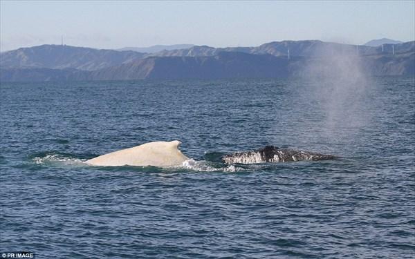 まさに白鯨! ニュージーランド沖で今年もアルビノの白いクジラ発見!!
