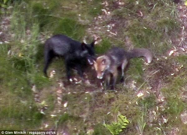 Black Fox! 不吉?それとも幸運の象徴? 黒いキツネが撮影される
