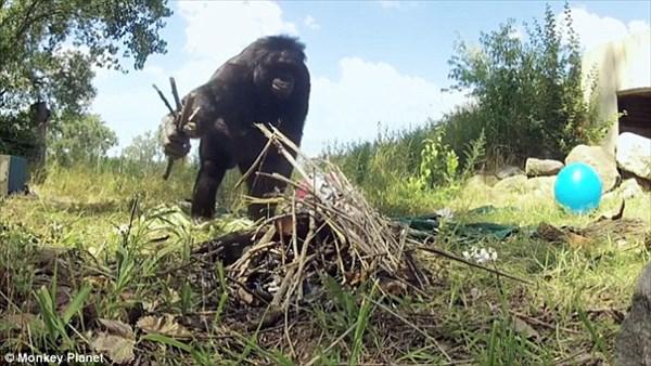 まるで石器時代! ボノボが木材を削りスコップや槍などの道具を作る!!