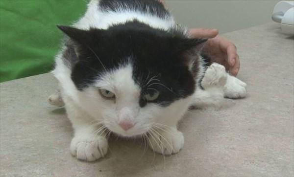 6本脚の野良猫ポーリー 善意の寄付で手術がおこなわれることに!