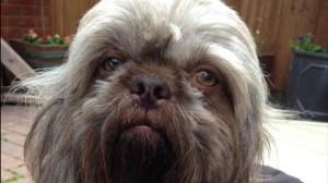 スターウォーズのチューバッカにそっくりの犬「チューイー」