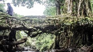 知恵の結晶!! 成長を続ける生きている橋「ツリーブリッジ」