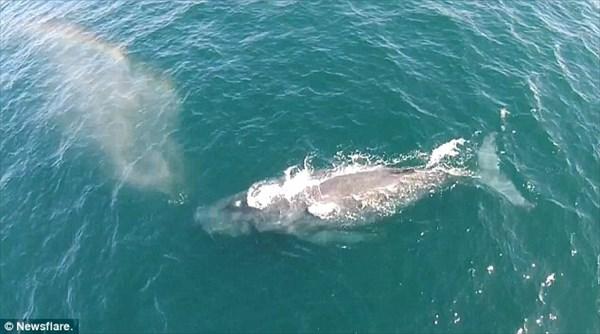 ドローンが撮影! ザトウクジラの潮が7色の虹を作りだす!!
