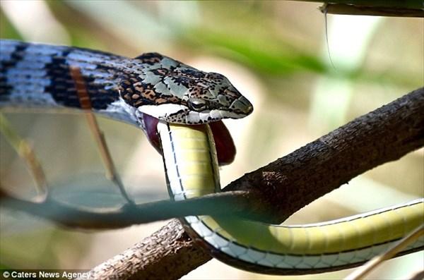 南アフリカで、ヘビがヘビを食べる。 1本丸飲みするのに1時間を費やす。