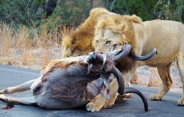 道路の真ん中で大迫力ハンティング! オスライオン二頭がクーズーを仕留める!