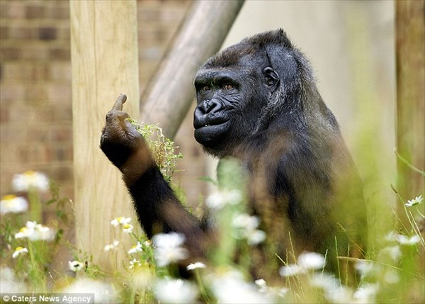 「fuck you!」 カメラを向ける撮影者に中指をたてる不機嫌ゴリラ!