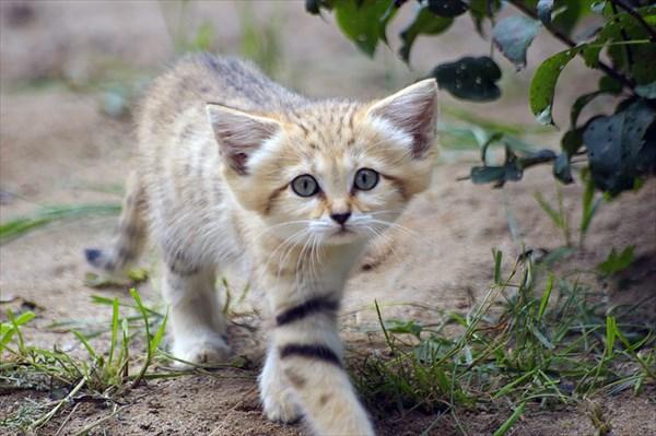 野生の猫なのに子猫程の大きさで臆病 大きな耳を持つスナネコが可愛い!!
