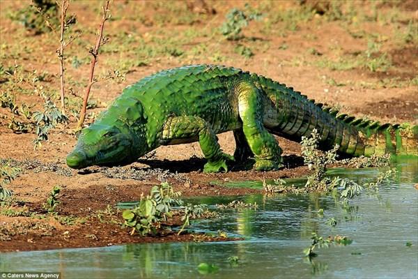 アオコが大量発生! 湖から出てきたワニ、ペンキをかぶったような緑色に!