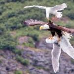 ハクトウワシとカモメによるサンドイッチ飛行が撮影される!!